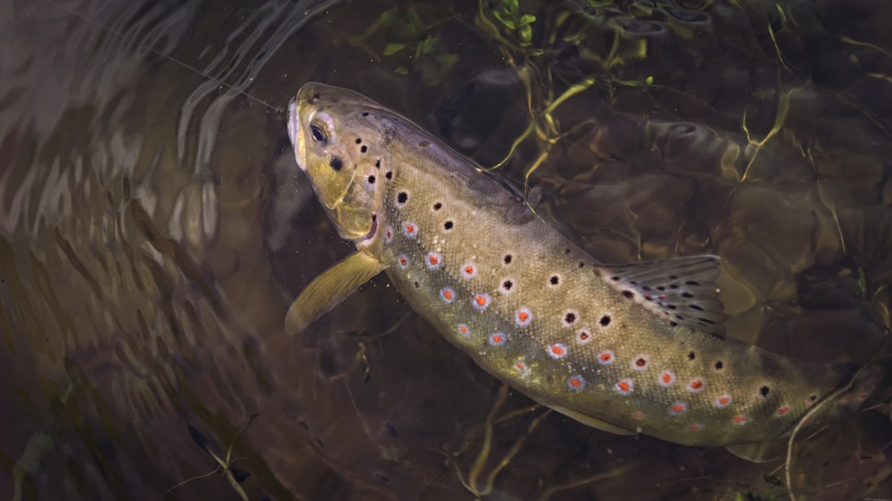 trout hooked under water